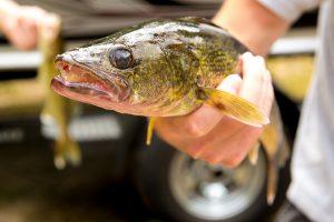 Lake Edward MN walleye
